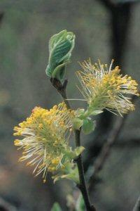 Willow (hengepil), blomstermedisin