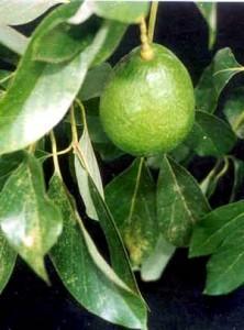 Avokado kaldpresset