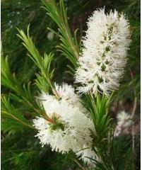 Rosalina - Tea tree lavendel eterisk olje