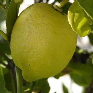 Sitron eterisk olje