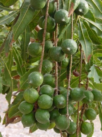 Macadami kaldpresset
