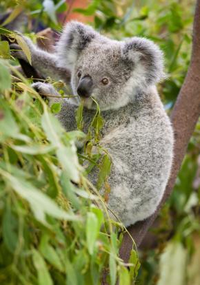 Eukalyptus eterisk olje