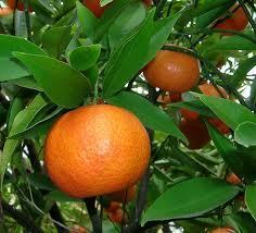 Mandarin eterisk olje