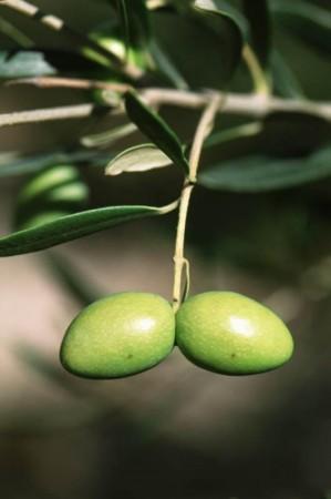 Oliven kaldpresset