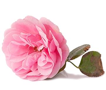 Rose hydrolat